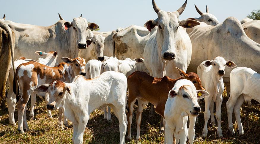 Mercado externo impulsiona abate de bovinos no terceiro trimestre  (IBGE)