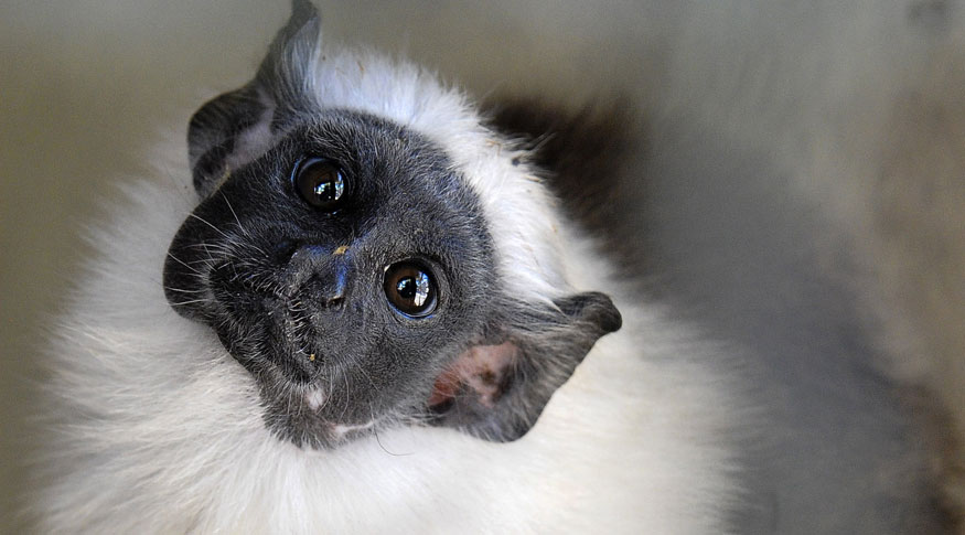 Sauim-de-coleira, espécie encontrada na Amazônia, corre risco de desaparecer