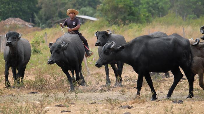 Criador de búfalos conduz rebanho na Ilha de Marajó